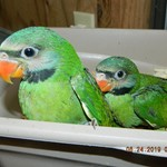 Moustached Parakeets for Sale