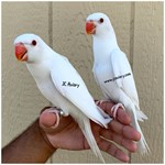 Ringneck Indian Parakeets for Sale
