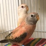 Parakeets for Sale
