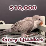 Quaker Parrots for Sale in Florida