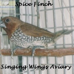 Spice Finchs for Sale