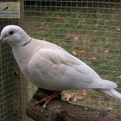 Doves For Sale >> Ringneck Doves For Sale