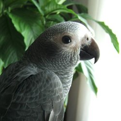Timneh African Grey Parrots For Sale
