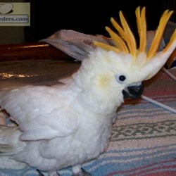 Citron Crested Cockatoos for Sale