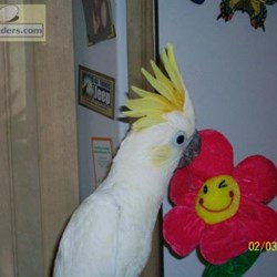 Lesser Sulpher Crested Cockatoos for Sale