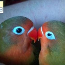Fischers Lovebirds For Sale