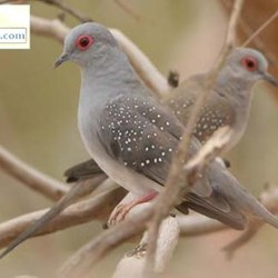 Doves For Sale >> Diamond Doves For Sale