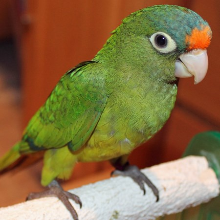 Half Moon Conure #103956 for sale in Bandera, TX