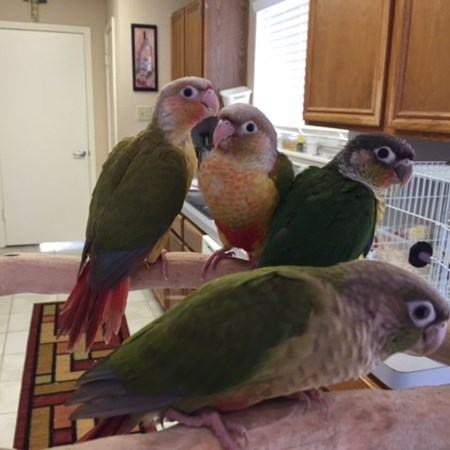Green Cheek Conure #118764 for sale in Houston, TX
