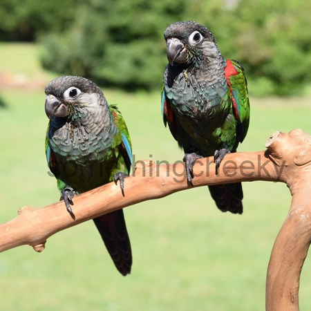 Pearly conures for sale