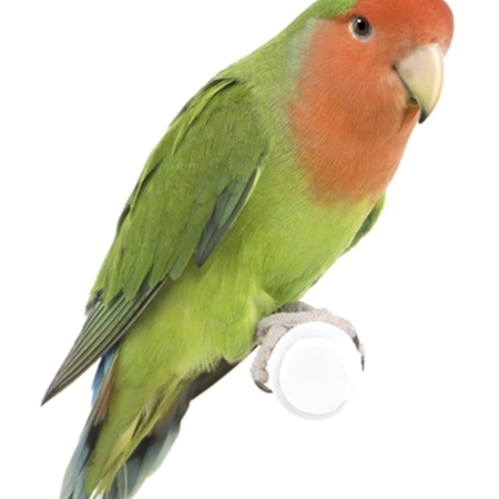 Peach Face Lovebird 121884 For Sale In Miami Fl