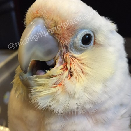 Blue eyed triton cockatoo - photo#16
