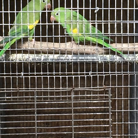 Canary-wing Parakeet #125346 for sale in Agoura Hills Los Angeles, CA