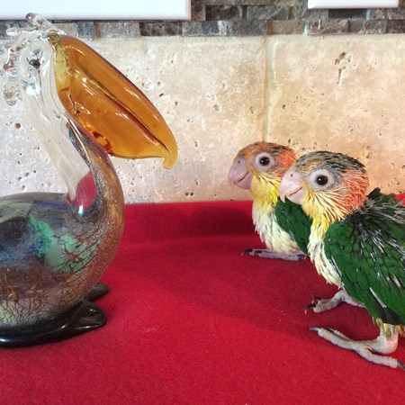 White Bellied Caique #125713 for sale in st charles, MO