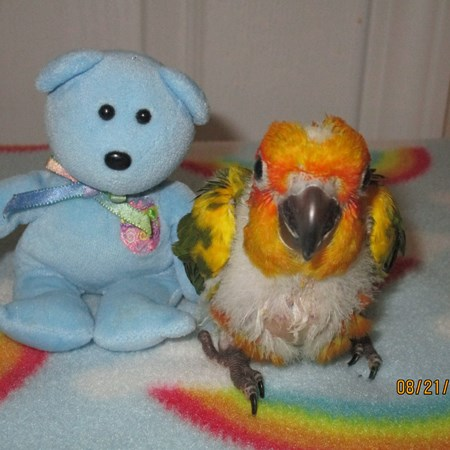 Sun Conure 128230 For Sale In Palm Coast Fl