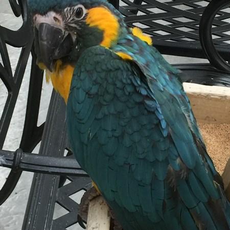 Blue eyed triton cockatoo - photo#25
