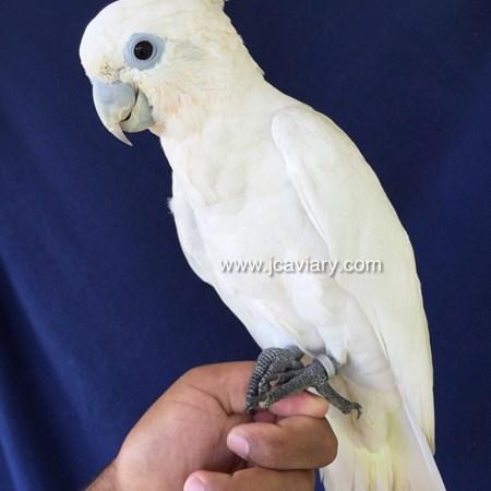 Blue eyed triton cockatoo - photo#11