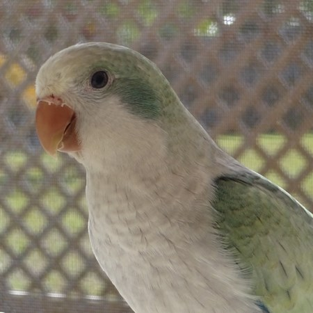 Quaker Parrot 138849 For Sale In Orlando Fl