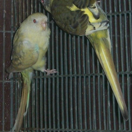 Red Rumped Parakeet #139713 for sale in Yucaipa, CA