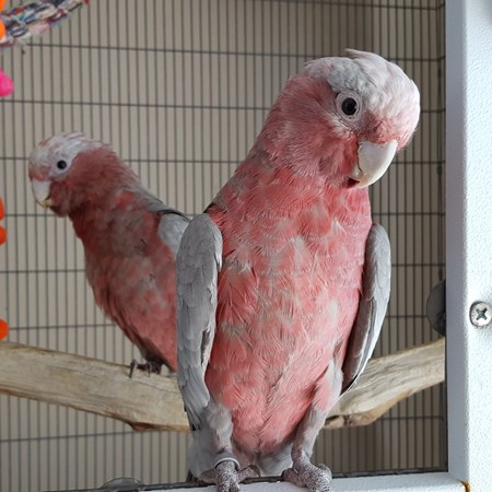Rose Breasted Cockatoo #141061 for sale in San Jose, CA