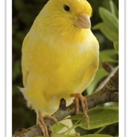 Canary Breeders Vancouver Island