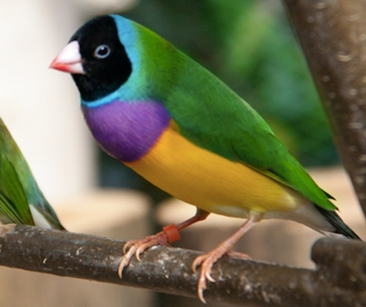 Lady Gouldian Finch 150097 For Sale In Vancouver Wa
