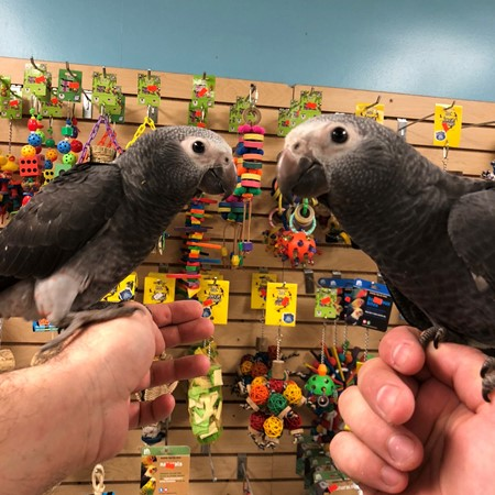 African Grey Timneh Parrot 156934 For Sale In Chicago Il