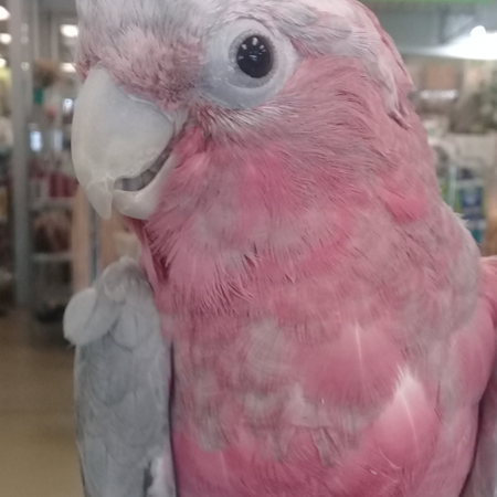 Rose Breasted Cockatoo #172708 for sale in Rockville Centre, NY