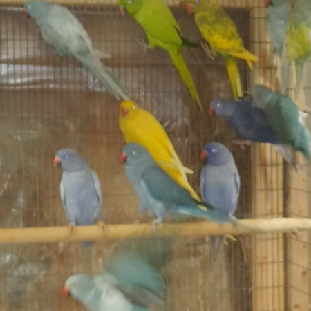 Ringneck Indian Parakeet #170470 for sale in southeast Iowa