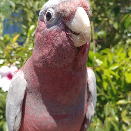 Rose Breasted Cockatoo #178287 for sale in Anaheim, CA