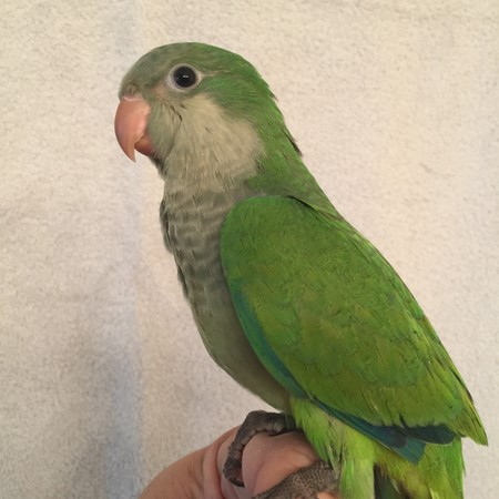 Quaker Parrot #178642 for sale in Raleigh, , NC