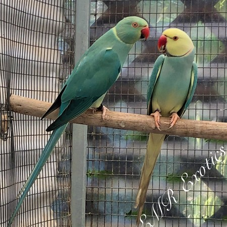 Ringneck Indian Parakeet #179084 for sale in San Diego, CA
