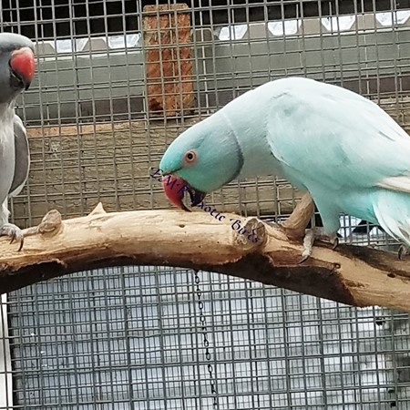 Ringneck Indian Parakeet #179090 for sale in San Diego, CA
