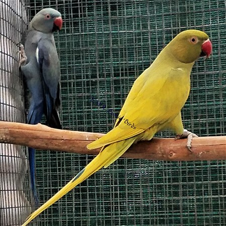 Ringneck Indian Parakeet #179105 for sale in San Diego, CA