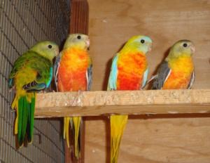 Grass Turquoisine Parakeet #76646 for sale in Los Angeles, CA