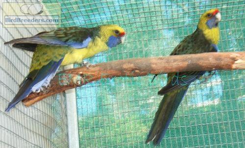 BirdBreeders com :: EMR Exotic Bird Breeder, San Diego, CA