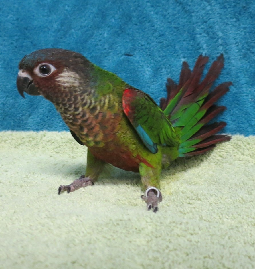 Painted Conure Birds For Sale