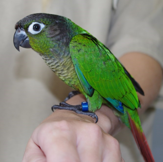 how to tell the sex of a green cheek conure