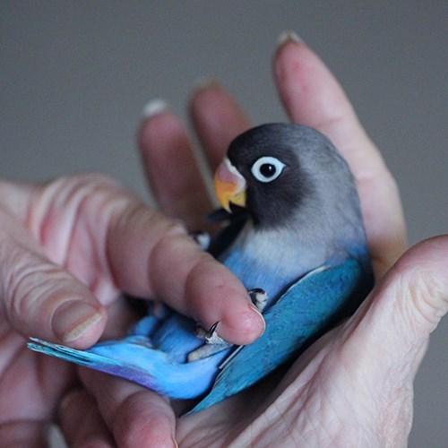 Fischers Lovebird 139231 For Sale In Valrico Fl
