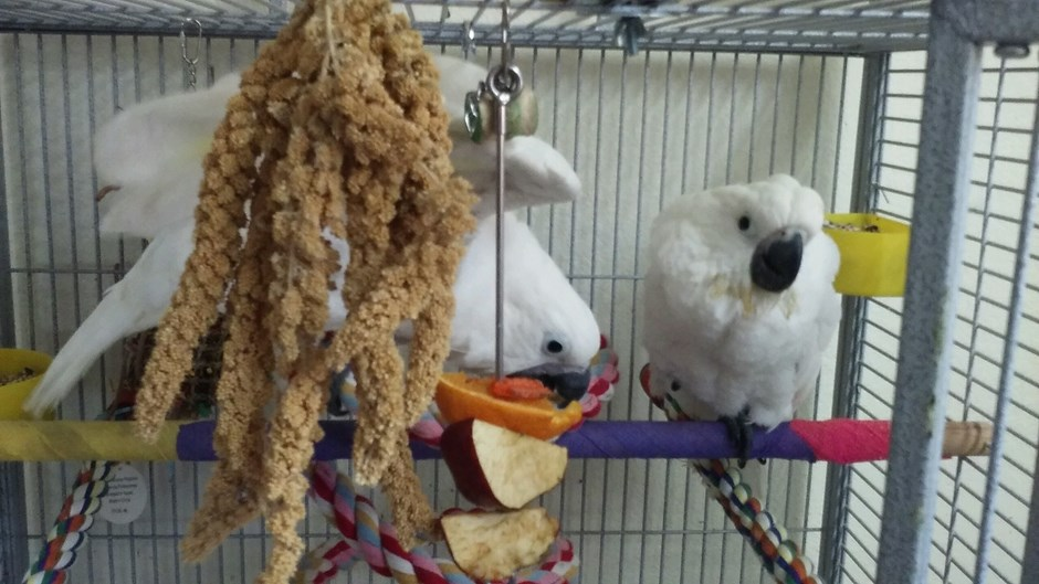 100+ Rose Breasted Cockatoo Breeder – yasminroohi