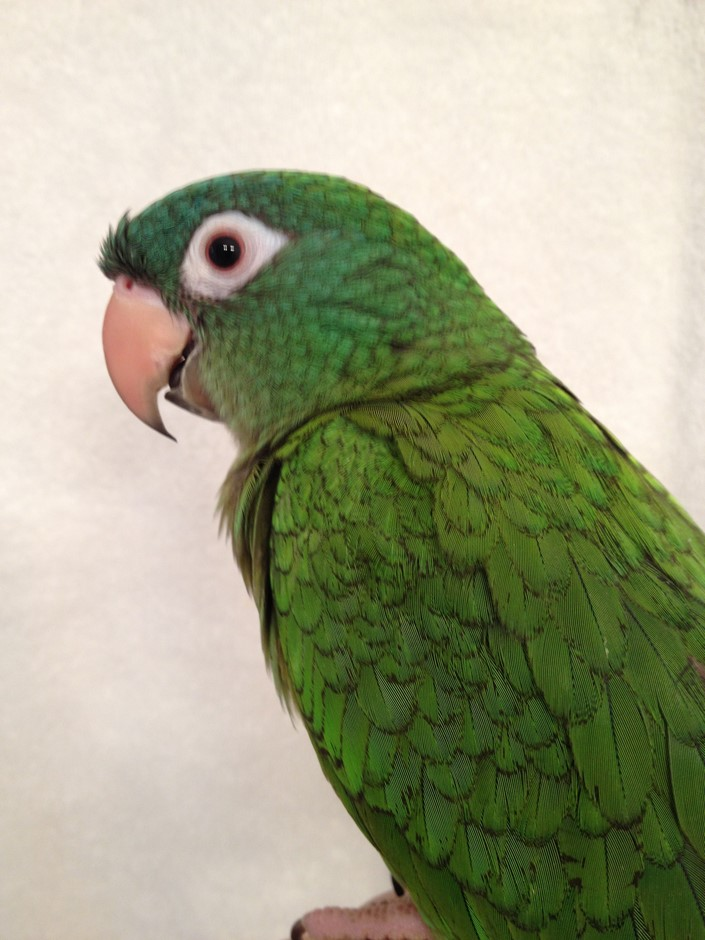 Blue Crown Conure 170209 For Sale In Raleigh Nc