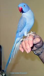 Indian Ring Neck Parrots For Sale In Hampshire